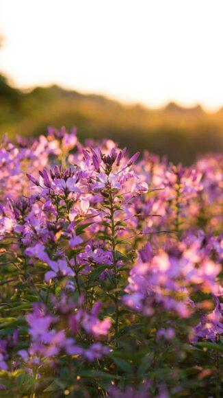 Hình nền mùa xuân đẹp với hoa tím