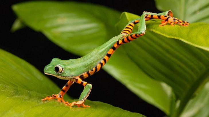 Ý tưởng sống động về hình nền con ếch dành cho máy tính